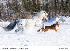 Appaloosa pony and border collie runs gallop in winter