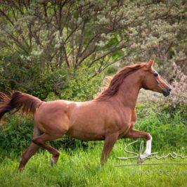 Das Gleichgewichtsorgan des Pferdes